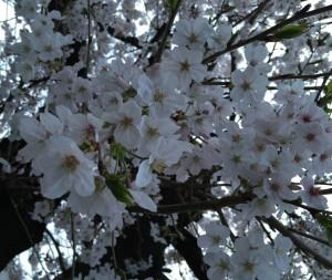 元住 桜①